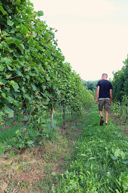 vigne dei colli asolani