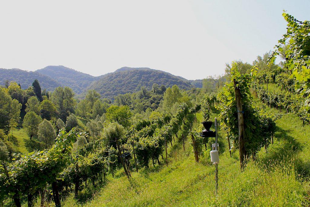 Le vigne dei Colli Asolani